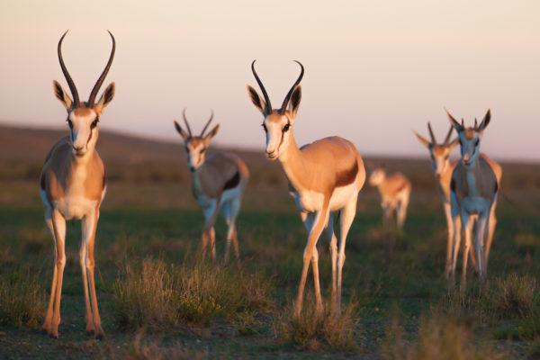 Jules - Springbok ooie